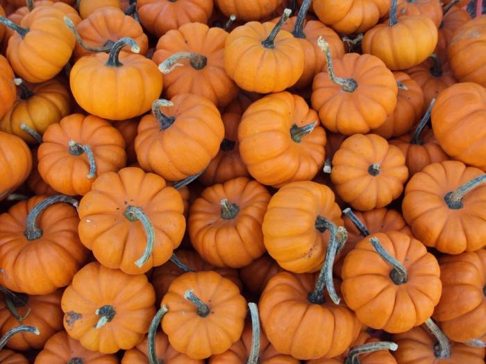 Mini_pumpkins (1)
